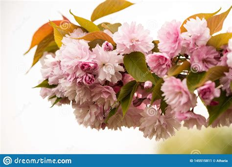 Close Up Of Cherry Blossom Tree Or Sakura Flower Tree