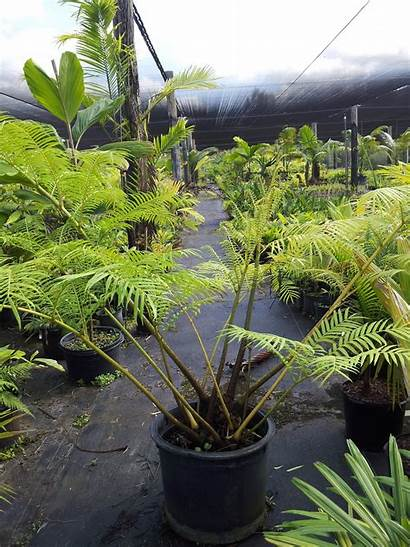 Fern Giant Angiopteris Evecta