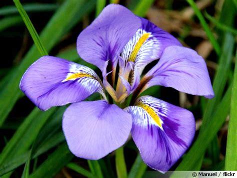 cuisiner des gateaux iris d 39 alger iris d 39 hiver iris unguicularis conseils