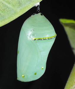25+ Best Ideas about Butterfly Pupa on Pinterest ...