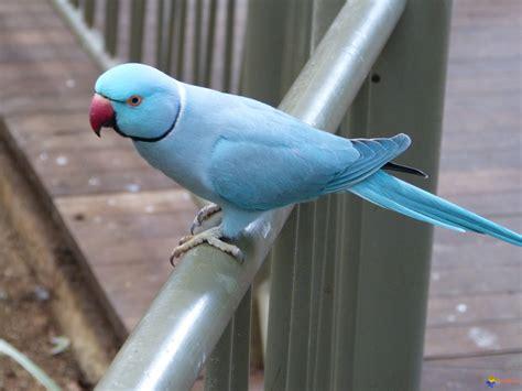 perruche à collier photo perruche bleue a collier psittacula krameri