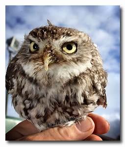 Welshphotoguy: SMALLEST owl in the UK