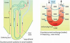 Concentration And Dilution Of Urine - Physiology