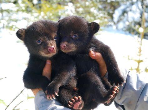 bear cubs cute  tiny