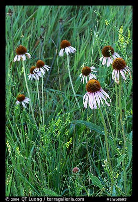 picturephoto prairie flowers  grasses theodore