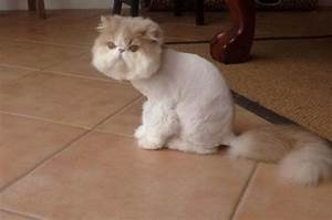 5 Lion Cut Cat Tips for Grooming Long Haired Cats | Purrs ...