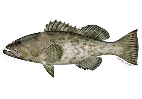 grouper gag fisheries noaa laws ask working fishing fishwatch trip custom