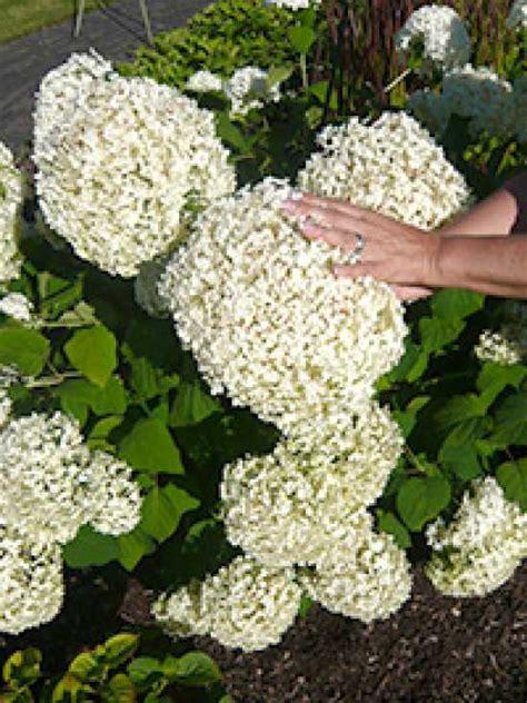 Strong Annabelle Erfahrungen by Hydrangea Arborescens Incrediball 174 Strong Annabelle