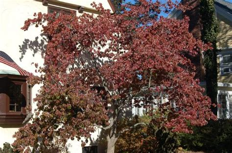 flowering dogwood tree facts 17 best ideas about dogwood trees on pinterest dogwood