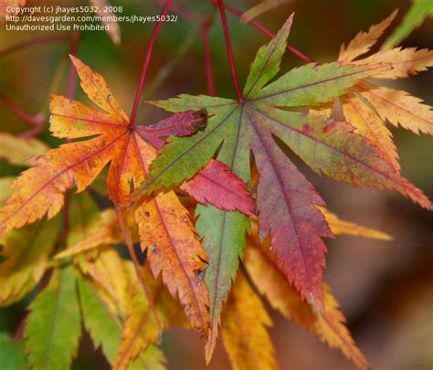 embers glowing maple japanese acer summer palmatum fall late early severe foliage damage there davesgarden
