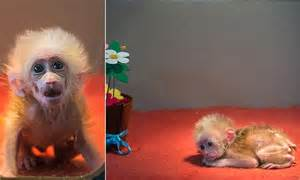 Stump Tailed Macaque Cub Is New Star At Chinas Hangzhou