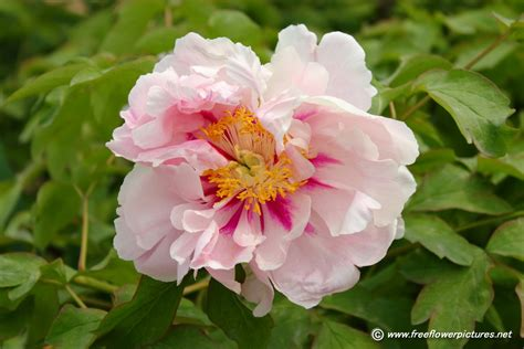 pictures of peonies peony flower picture flower pictures 985