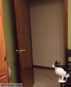 crazy cat jump find  share funny animated gifs