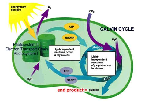Where In The Chloroplast Do The Light Reactions Occur by Let S Learn Photosynthesis Mind Map