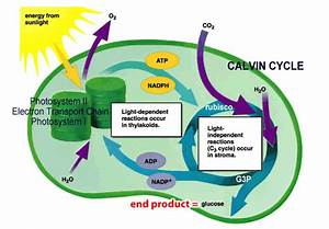 Table 4 U0026 39 S Cell Wiki    How Cells Get Energy