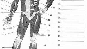 34 Muscular System Diagram Worksheet
