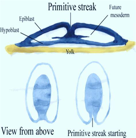 gastrulation  chick iii formation  primitive streak