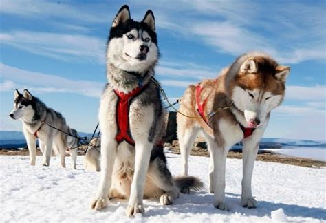Slee Honden by Husky Hondenrassen