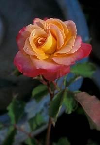 Langage Des Fleurs Pivoine : 39 granada 39 39 donatella 39 hybrid tea rose 1963 39 tiffany 39 x 39 cavalcade 39 large urn shaped ~ Melissatoandfro.com Idées de Décoration