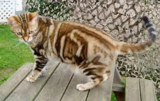 american cat index of gallery american shorthair cat