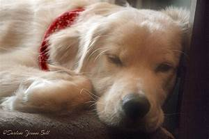 Golden Retriever Puppy Sleeping Photograph by Darlene Bell