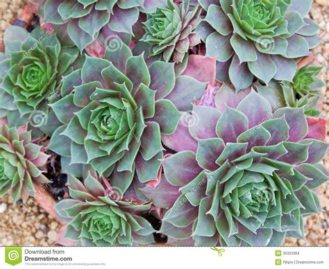 sempervivum more hens and succulents rock garden cold hardy pictures