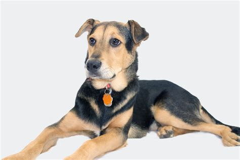 Free Images : puppy, german shepherd, vertebrate, mix, dog ...