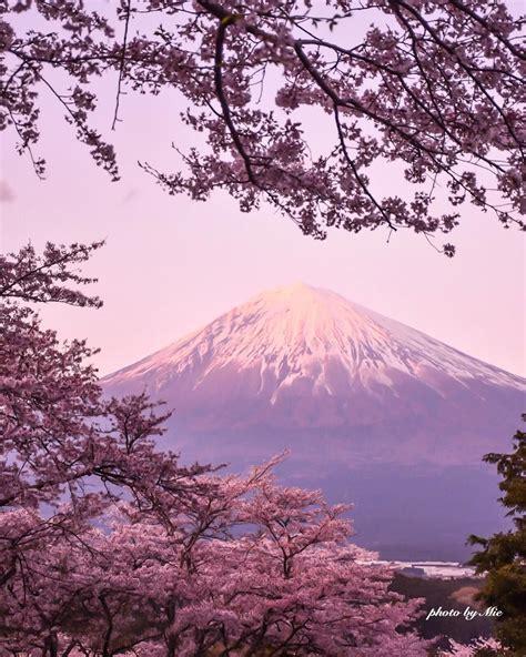 cherry blossom  mtfuji japan cherryblossom