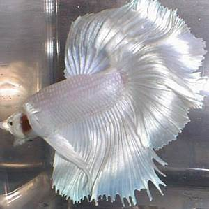 17 Best images about Alpha Bettas on Pinterest | Auction ...