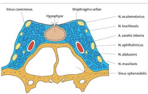 cross section   cavernous sinus  internal carotid