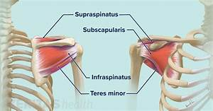 Soft Tissues Of The Shoulder