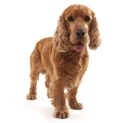 cocker spaniel dog breed guide