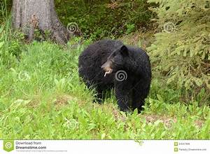 Soaked American Black Bear Eating A Dandelion Stock Photo ...