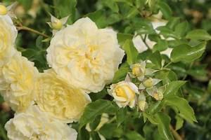 Rosen Schneiden Zeitpunkt : rosen schneiden wann erfolgt der rosenschnitt im herbst anleitung ~ Frokenaadalensverden.com Haus und Dekorationen