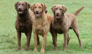 chesapeake bay retriever dog breed information