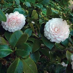 Camellia Japonica Winterhart : camellia finegardening ~ Eleganceandgraceweddings.com Haus und Dekorationen