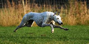 How do greyhounds run so fast?   Pets4Homes