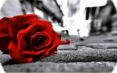 Sad Rose Wallpapers Flower Pinposters Tablet