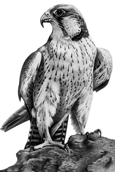 18 best Falcon Tattoos images on Pinterest   Falcon tattoo, Falcons and Peregrine falcon