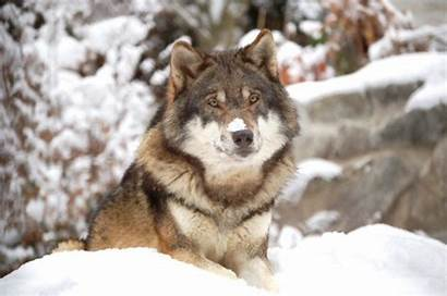 Wolf Wolves Eating Channel Discovery Help Super