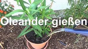 Alpenveilchen Gießen Wie Oft : hitzewelle 2019 oleander richtig gie em im sommer oleander ~ A.2002-acura-tl-radio.info Haus und Dekorationen