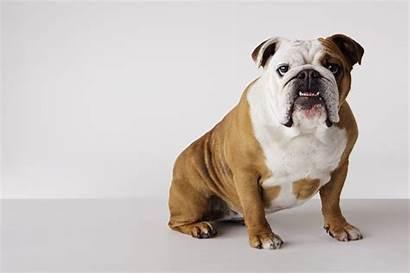 Bulldog English Dog Wallpapers Bull Allergies Breeds