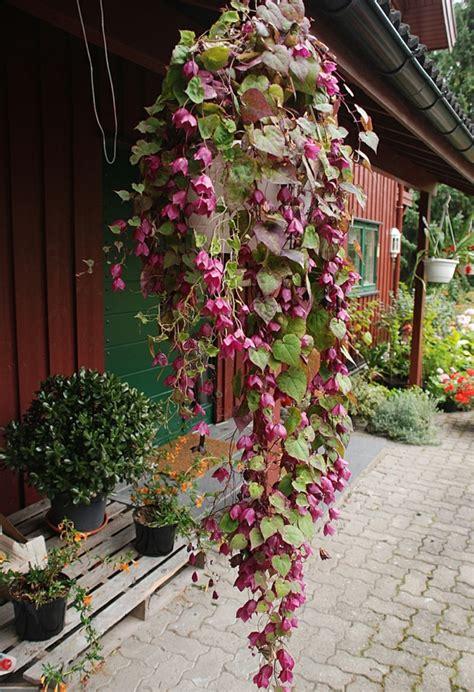 exotische pflanzen ideen goldtrompete oder purpurgloeckchen