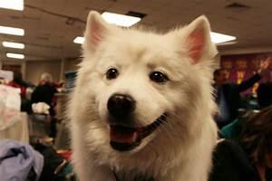 American Eskimo Dog | A small to medium-size Nordic-type ...
