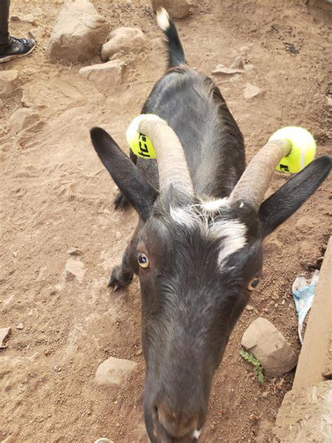 misbehaving goats  forced  wear pool noodles