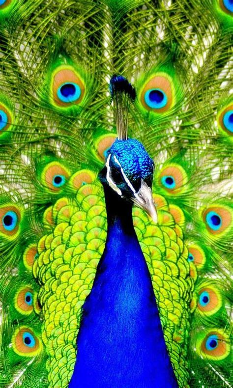 Animated Peacock Wallpapers - 480 215 800 wallpapers for mobile phone abstract and cool