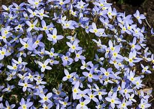 Bodendecker Blaue Blüten : houstonia caerula houstonia serpyllifolia porzellansternchen polsterstaude blaue bl ten ~ Frokenaadalensverden.com Haus und Dekorationen