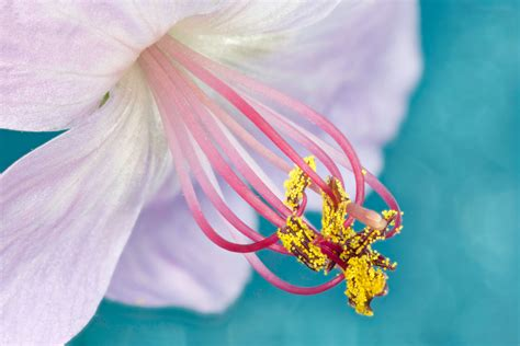 wallpaper geranium flower stigma pollen  flowers
