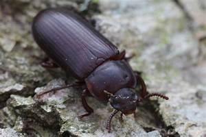 Schwarzer Käfer Im Haus : naturspektrum mehlk fer tenebrio molitor arteninfo ~ Somuchworld.com Haus und Dekorationen