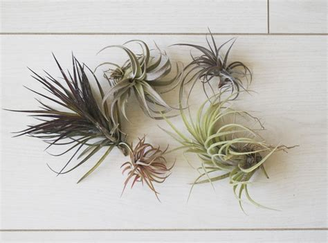 air plant how to care for air plants